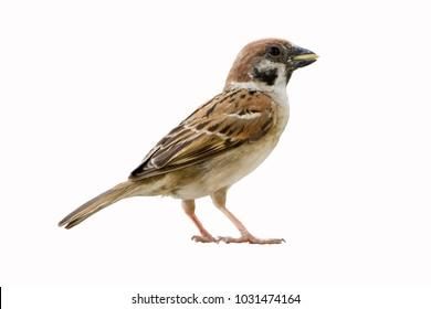 Eurasian Tree Sparrow (Passer montanus) on white background