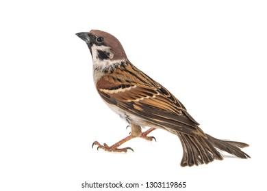 Eurasian Tree Sparrow, Passer montanus, isolated on white background,