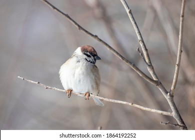 Eurasian tree sparrow (Passer montanus) in winter frosty weather in the snow. Eurasian tree sparrow (Passer montanus) is a passerine bird in the sparrow family.