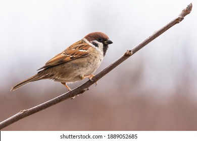 Eurasian tree sparrow (Passer montanus), small brown bird sitting on the branch. First snow with animals. Little songbird looking for some meal. Wild scene from nature. White background.