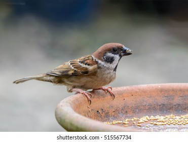 Eurasian Tree Sparrow (Passer montanus), beautiful brown bird in garden,Thailand.