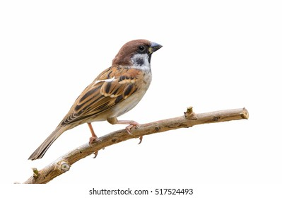 Eurasian Tree Sparrow or Passer montanus, Beautiful bird isolated perching on branch with white background, Thailand.