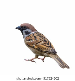 Eurasian Tree Sparrow or Passer montanus, Beautiful bird isolated standing on ground with white background, Thailand.