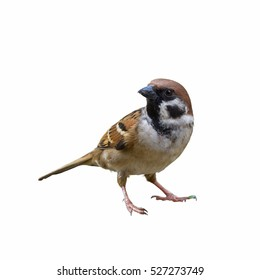Eurasian Tree Sparrow or Passer montanus, Beautiful bird isolated standing on ground with white background in Thailand.