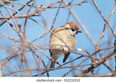 Eurasian tree sparrow (Passer montanus) sitting on a branch