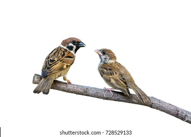Eurasian Tree Sparrow or Passer montanus, beautiful bird isolated feeding hungry baby on branch with white background and clipping path, Thailand.