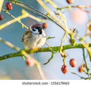 Eurasian tree sparrow sitting in an apple tree with ripe red apples.