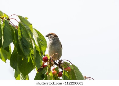 Eurasian Tree Sparrow sitting on a cherry tree branch stealing ripe berries