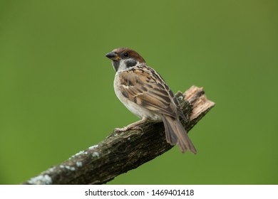 Eurasian tree sparrow sitting on a branch