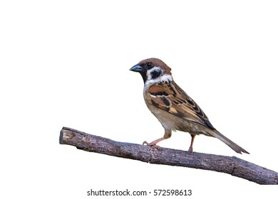 Eurasian Tree Sparrow(Passer montanus), colorful bird isolated on branch with white background.