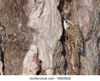 An Eurasian Treecreeper (Certhia familiaris) searching for food in a slit of the bark. A good example of homochromy.