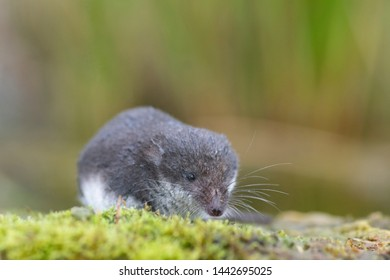 Eurasian Water Shrew, Neomys fodiens, sat on mossy rock ,Devon, June