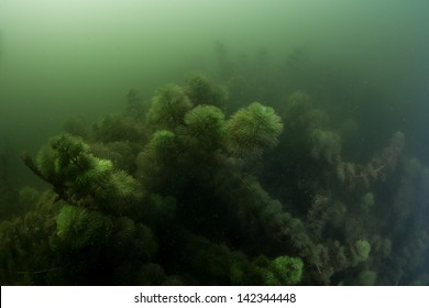 Eurasian watermilfoil, underwater plant in green and dark canal water.
