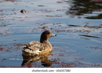 Eurasian wigeon (female), Number 1. Freshwater duck