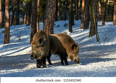 Eurasian wild boar (Sus scrofa) in natural environment, Poland