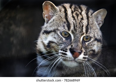 Eurasian Wildcat in captivity - close up