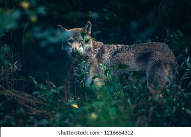 Eurasian wolf behind bushes in forest.