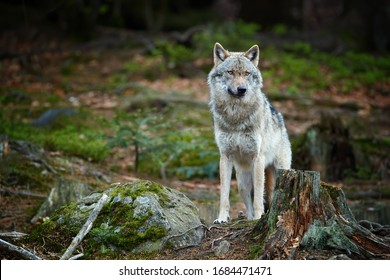 Eurasian wolf, Canis lupus, alpha male in spring european forest, staring directly at camera. Wolf in its biotope. East europe.