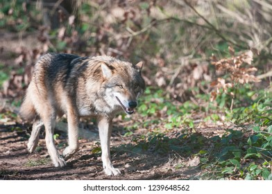 Eurasian wolf (canis lupus lupus, common wolf, Middle Russian forest wolf)