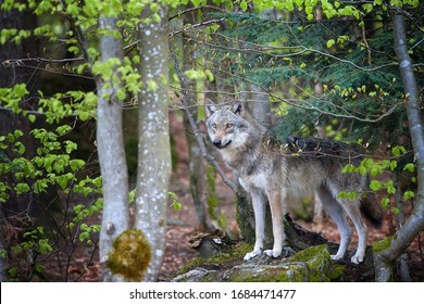 Eurasian wolf, Canis lupus, female in spring european forest. Wolf in its biotope. East europe.