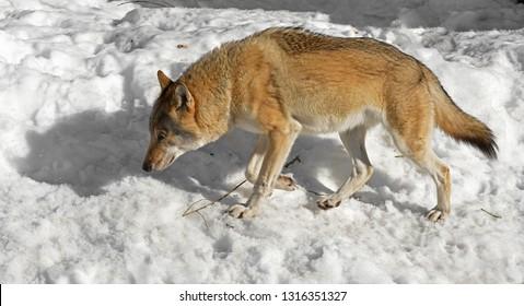 Eurasian wolf (Canis lupus lupus) follows trail (hunting)