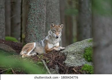 Loup eurasien, canis lupus lupus, caché dans la forêt. La nature de l'Europe. Loup allongé dans la nature. Prédateur réussi dans la forêt. Emballez avec votre progéniture. Prédateur rare de nature européenne