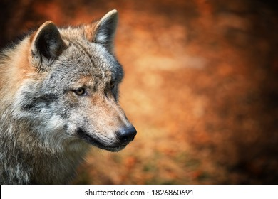Eurasian wolf, Canis lupus, side portrait of female against orange abstract background. East Europe.
