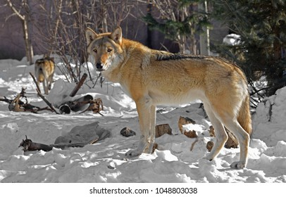 Eurasian wolf (Canis lupus lupus). Wolves in winter