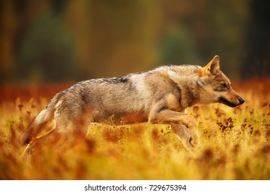 Eurasian wolf in the colorful autumn grass