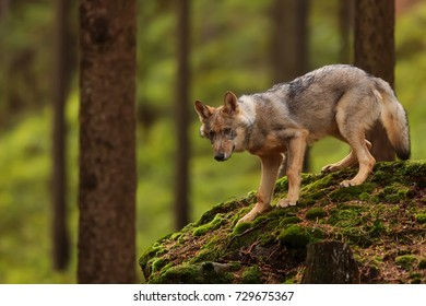 Eurasian wolf  go down from stones