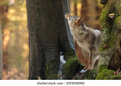 Eurasian wolf is looking up to tree