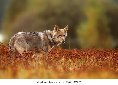 Eurasian wolf in the meadow