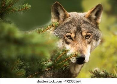 Eurasian wolf nice portrait in detail