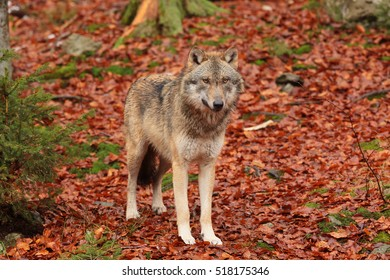 Eurasian wolf nice portrait with orange background from leaves