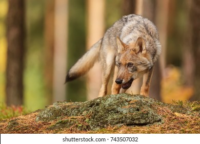 Eurasian wolf on the big stone in forest