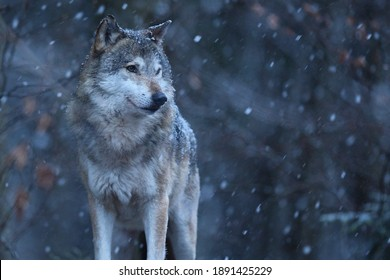 Eurasian wolf in white winter habitat,. Beautiful winter forest. Wild animals in nature environment. European forest animal. Canis lupus lupus.