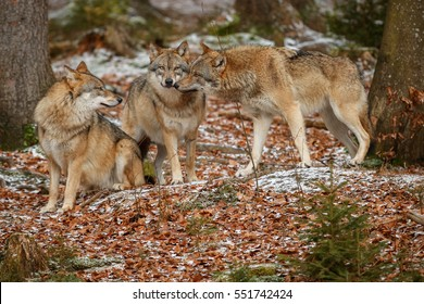 Eurasian wolfpack in nature habitat in bavarian forest, national park in eastern germany, european forest animals, canis lupus lupus