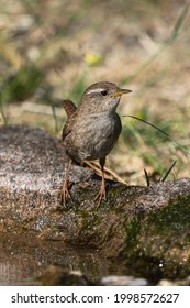 Eurasian wren standing at the edge of some water or birdbath stretching and looking to the right