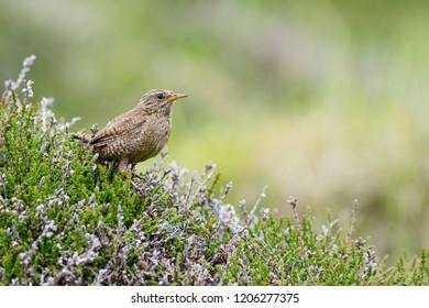 Eurasian Wren - Troglodytes troglodytes, small brown perching bird from European meadows and grasslands, Shetlands, UK.