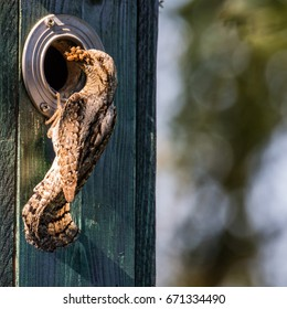 The Eurasian wryneck (Jynx torquilla), the provider to ten nestlings in the nesting box with ants and ant-eggs. Wryneck is a species in the woodpecker family.