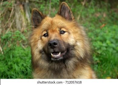 Eurasier dog named 'Ayra van de Brasacker'