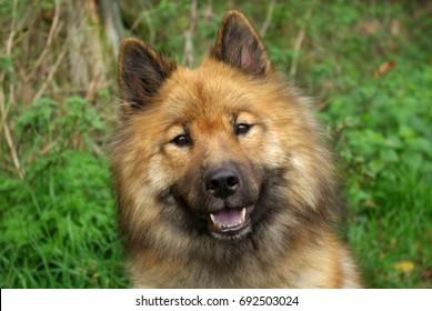 Eurasier dog portrait