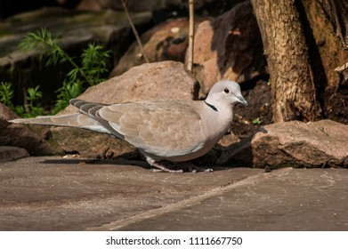 Eurasion Collared Dove (Streptopelia decaocto) on stone patio almost camouflaged against rocks and tree