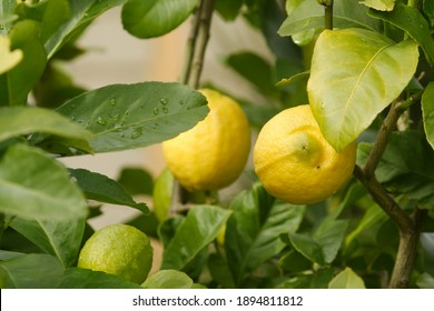 Eureka Lemons on the tree