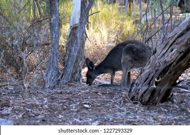 Euro in bush near Wilpena Pound Resort, Ikara-Flinders' Ranges National Park, SA, Australia