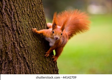 Euroasian red squirrel