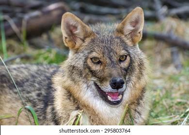 Euroepan golden jackal (Canis aureus) adult in a forest