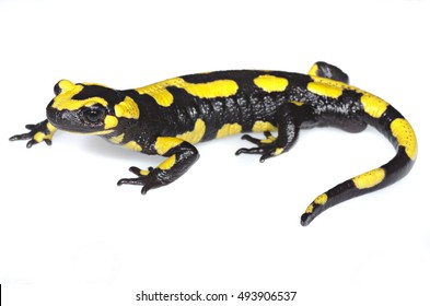Europaean fire salamander (Salamandra salamandra) on white panel. Liguria. Italy.
