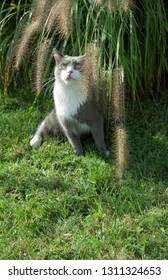 Europe Austria Kirchbach 2003. Grey and white domestic house cat outside in meadow. Cute family pet hiding in long grass. Animal not focal point due to interaction with foreground plants.