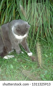 Europe Austria Kirchbach 2003. Grey and white domestic house cat outside in meadow. Cute family pet playing with grass stem. Foreground plants soft focus.
